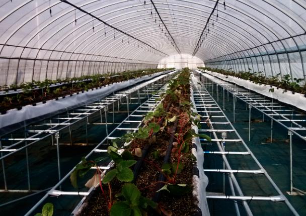 草莓育苗栽培架(北京众博熙泰) 照片